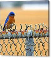 Bluebird On A Fence Canvas Print