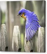 Bluebird On The Fence Canvas Print