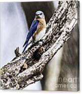 Bluebird Canvas Print