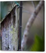 Bluebird With Nest Material In Beak Canvas Print