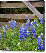 Bluebonnet Gate Canvas Print