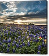 Bluebonnet Heaven Canvas Print