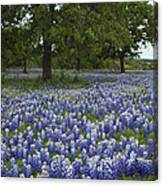 Bluebonnets And Oaks Canvas Print