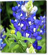 Bluebonnets Blooming Canvas Print
