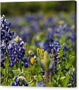 Bluebonnets In Spring Canvas Print