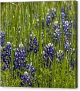 Bluebonnets In The Grass Canvas Print