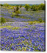 Bluebonnets Over Hill And Dale Canvas Print
