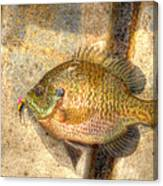 Bluegill In Hdr Canvas Print