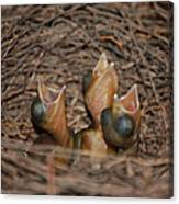 Bluejay Chicks Canvas Print