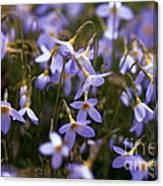 Bluets Canvas Print