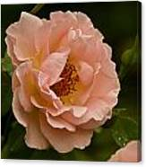 Blush Pink Rose With Dew Canvas Print