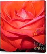 Blushing Orange Rose 7 Canvas Print
