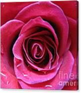 Blushing Pink Rose 3 Canvas Print