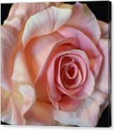 Blushing Pink Rose Canvas Print