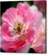 Blushing Spring Tulip Canvas Print