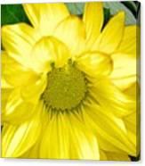 Blushing Sunshine Canvas Print