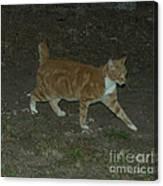 Bob-tail Cat Canvas Print