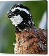 Bob White Quail Canvas Print
