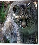 Bobcat 20 Canvas Print