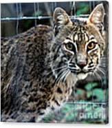 Bobcat Beauty Canvas Print
