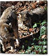 Bobcat Couple Canvas Print