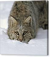 Bobcat Crouching In Snow Colorado Canvas Print