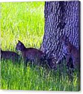 Bobcat Cubs Canvas Print