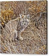 Bobcat In Brush Canvas Print