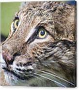 Bobcat Canvas Print