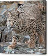 Bobcat On Rock Canvas Print