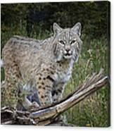Bobcat On The Prowl Canvas Print