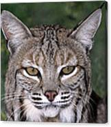 Bobcat Portrait Wildlife Rescue Canvas Print