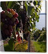 Bodensee Vineyards Canvas Print