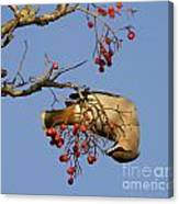 Bohemian Waxwing Eating Rowan Berries Canvas Print