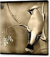 Bohemian Waxwing In Sepia Canvas Print