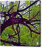 Bois D'arc Canvas Print