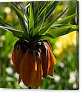 Bold And Showy Orange Crown Imperial Flower  Canvas Print