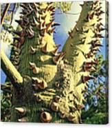 Bombacaceae - Floss Silk Tree - Chorisia Speciosa Hawaii Canvas Print