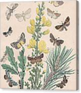 Bombycoidae - Acronyctidae - Orthosidae Canvas Print