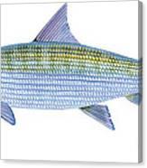 Bonefish Canvas Print