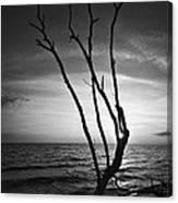 Bonita Beach Tree Black And White Canvas Print