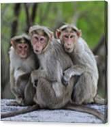 Bonnet Macaque Trio Huddling India Canvas Print