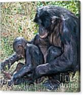 Bonobo Adult Tickeling Juvenile Canvas Print