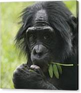Bonobo Eating Canvas Print