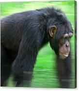 Bonobo Pan Paniscus Knuckle-walking Canvas Print