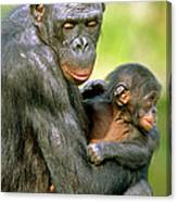 Bonobo Pan Paniscus Mother And Infant Canvas Print