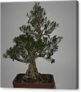 bonsai tree Serissa Foetida live tree art exposed root over rock Canvas Print