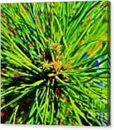 Bonzi Pine Canvas Print