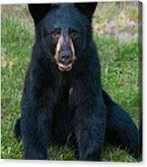 Boo-boo The Little Black Bear Cub Canvas Print