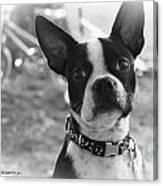 Boomer Boston Terrier Canvas Print